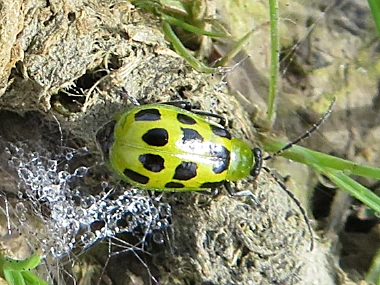 Cucumber Beetle on Wander Nature