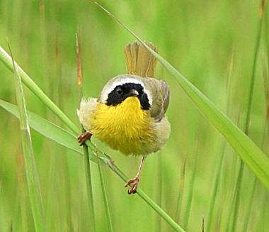Common Yellow Throat on Wander Nature