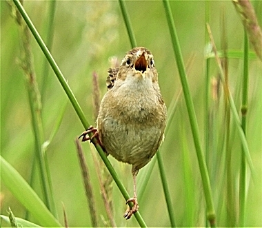 Wren on Wander Nature