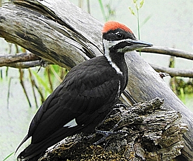 Juvenile Pileated Woodpecker on Wander Nature