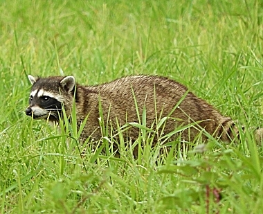 Raccoon on Wander Nature