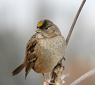 Golden-Crowned Sparrow on Wander Nature
