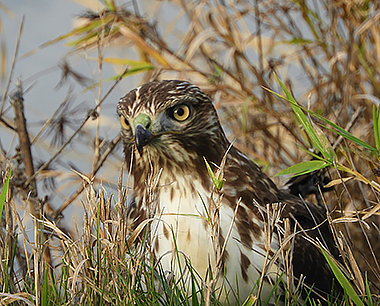 Hawk on Wander Nature