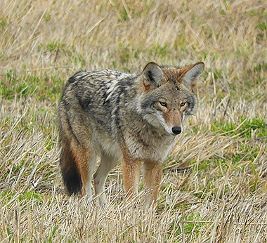 Coyote on Wander Nature