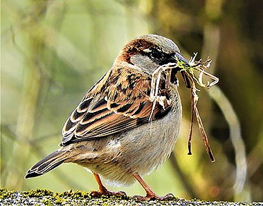 House Sparrow on Wander Nature