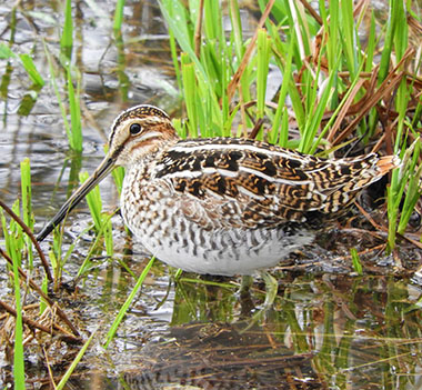Snipe on Wander Nature