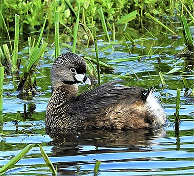 Pied-Billed Grebe on Wander Nature