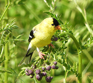 Goldfinch on Wander Nature