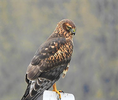Northern Harrier Hawk on Wander Nature