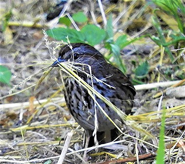 Song Sparrow on Wander Nature