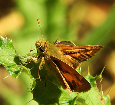 Sachem Skipper Butterfly on Wander Nature