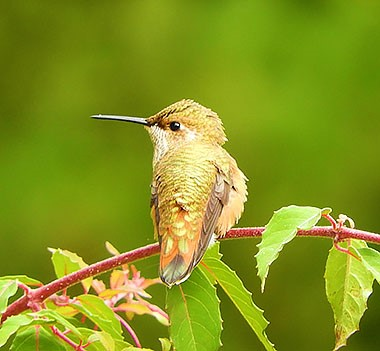 Hummingbird on Wander Nature
