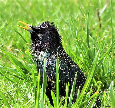 Starling on Wander Nature