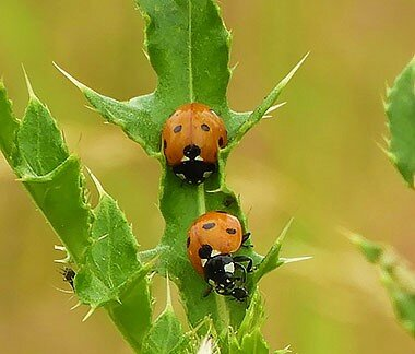 Ladybugs on Wander Nature