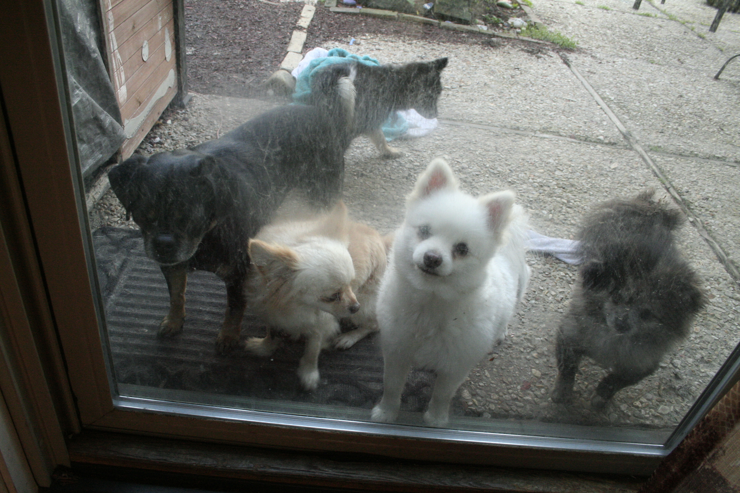 more of bigby's dog family. his dad is on the left, and the white pomeranian is his mom.