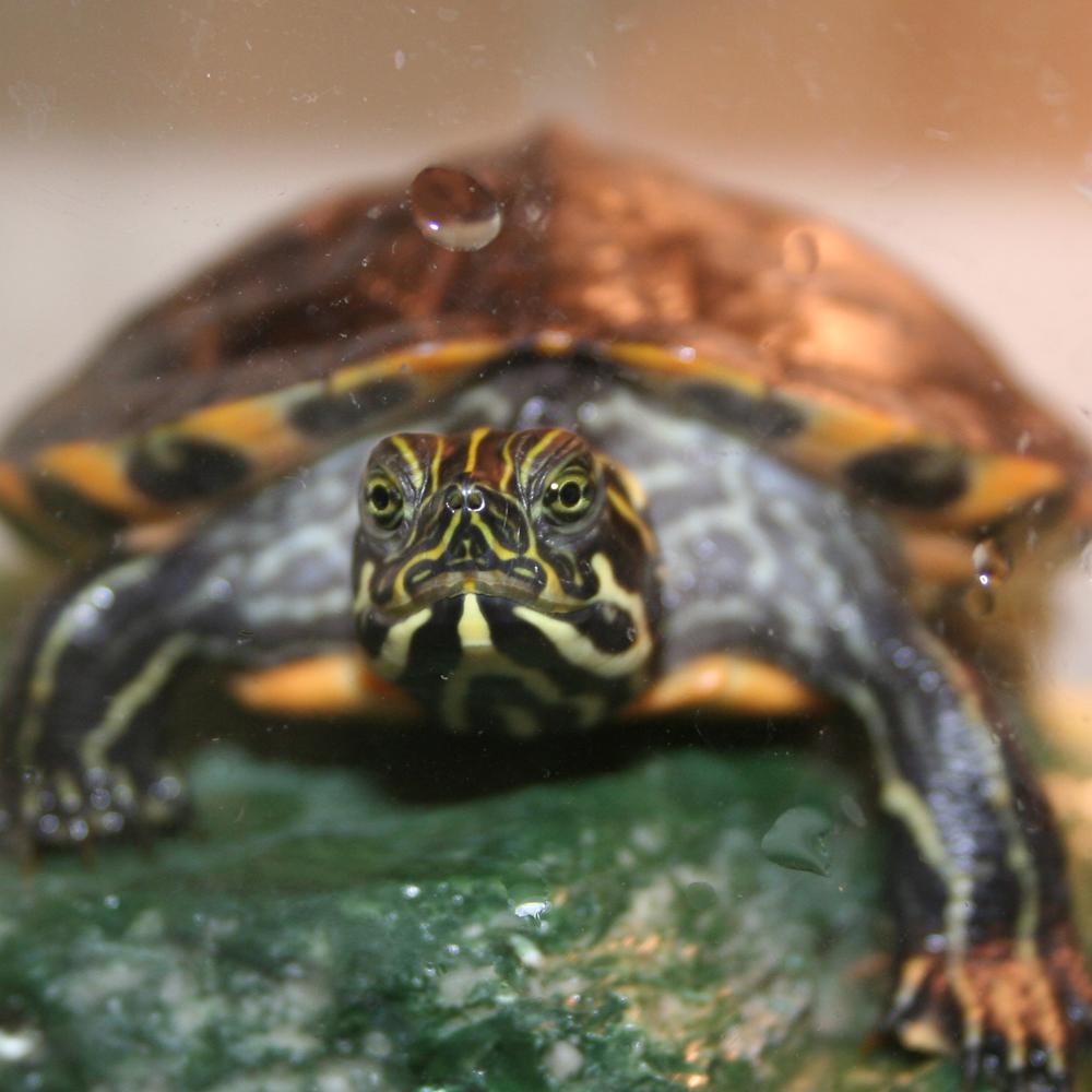 Paul Giamatti, the turtle