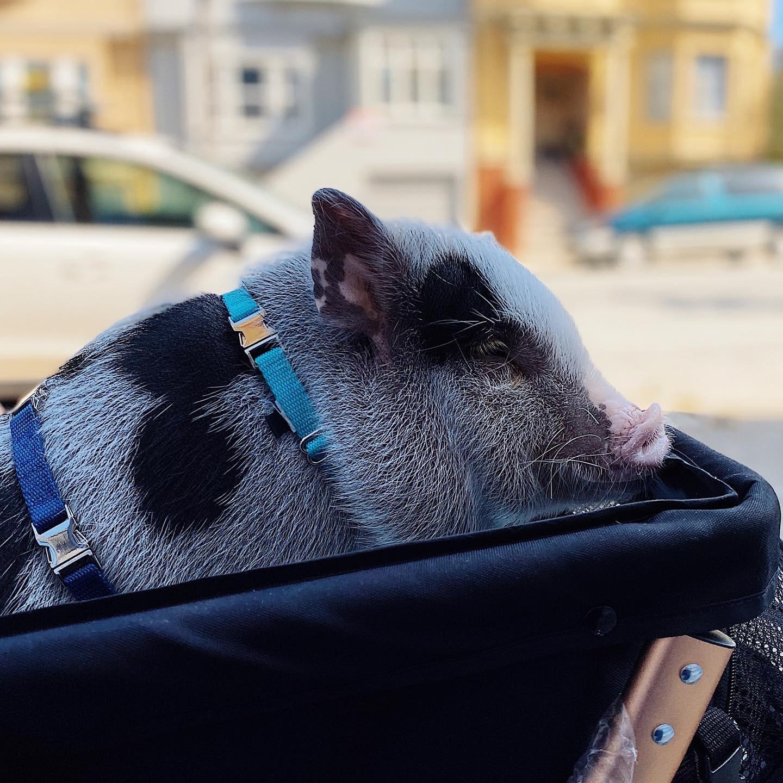 Profile of a piggy