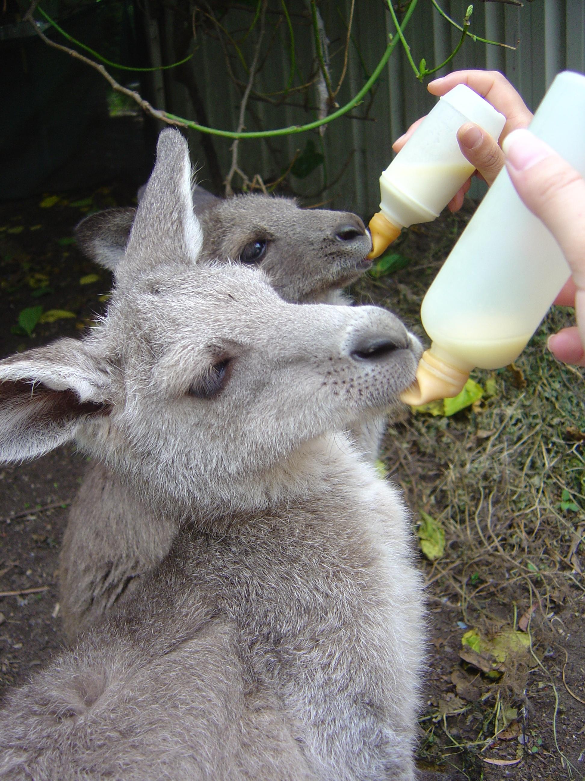 Baby Kangaroo (3).JPG