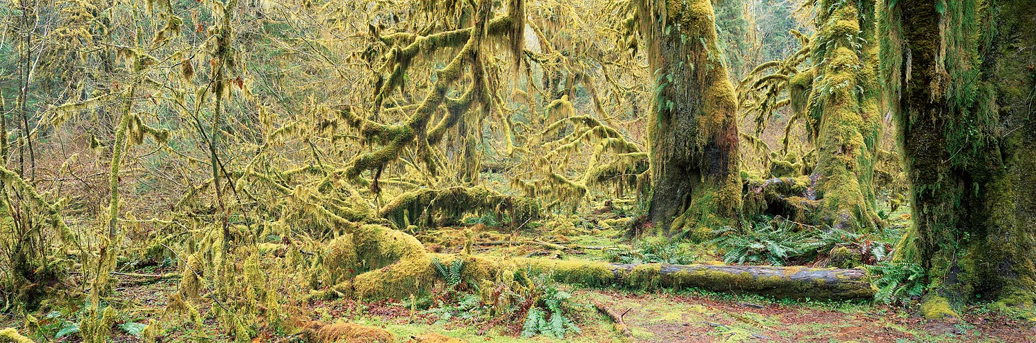 Mossy trees in the Hoh Rainforest : Washington