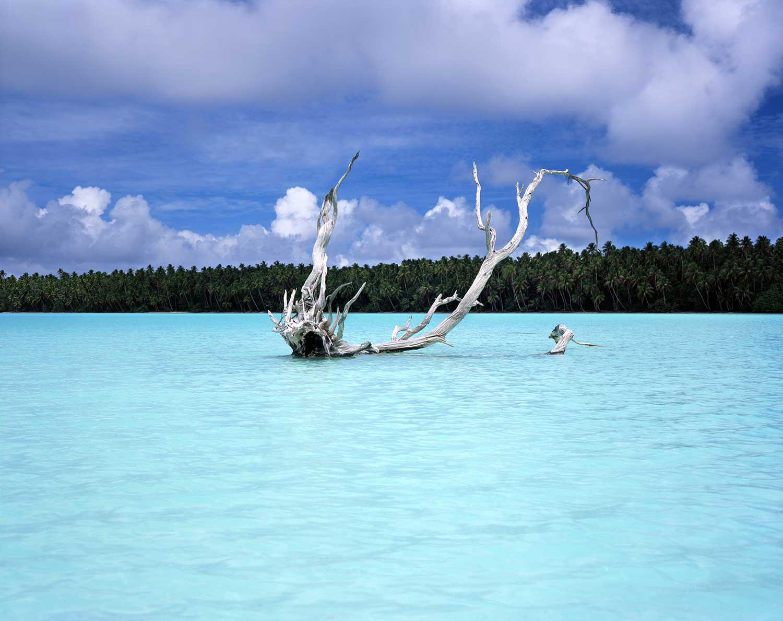 Distressed Tree : Tahiti