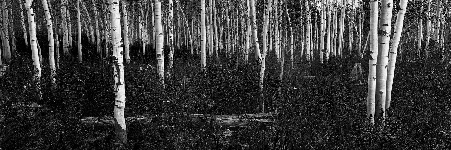 Copy of Aspens and Foliage, Wyoming 2015