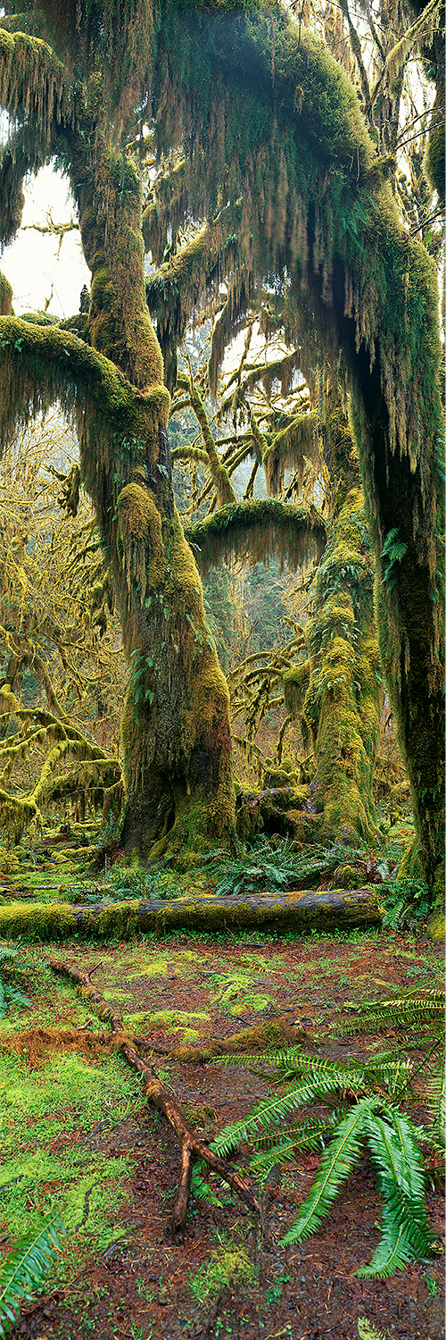 Hoh Rainforrest, Washington 2014