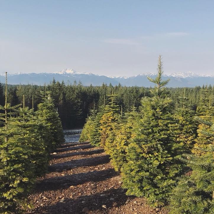 christmas tree forest -
