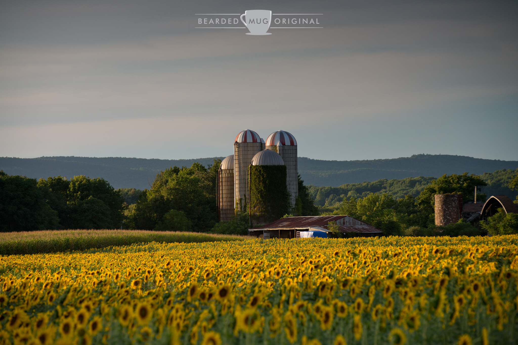 Who doesn't enjoy a good sunflower field with an assembly of stave silos watching over it?