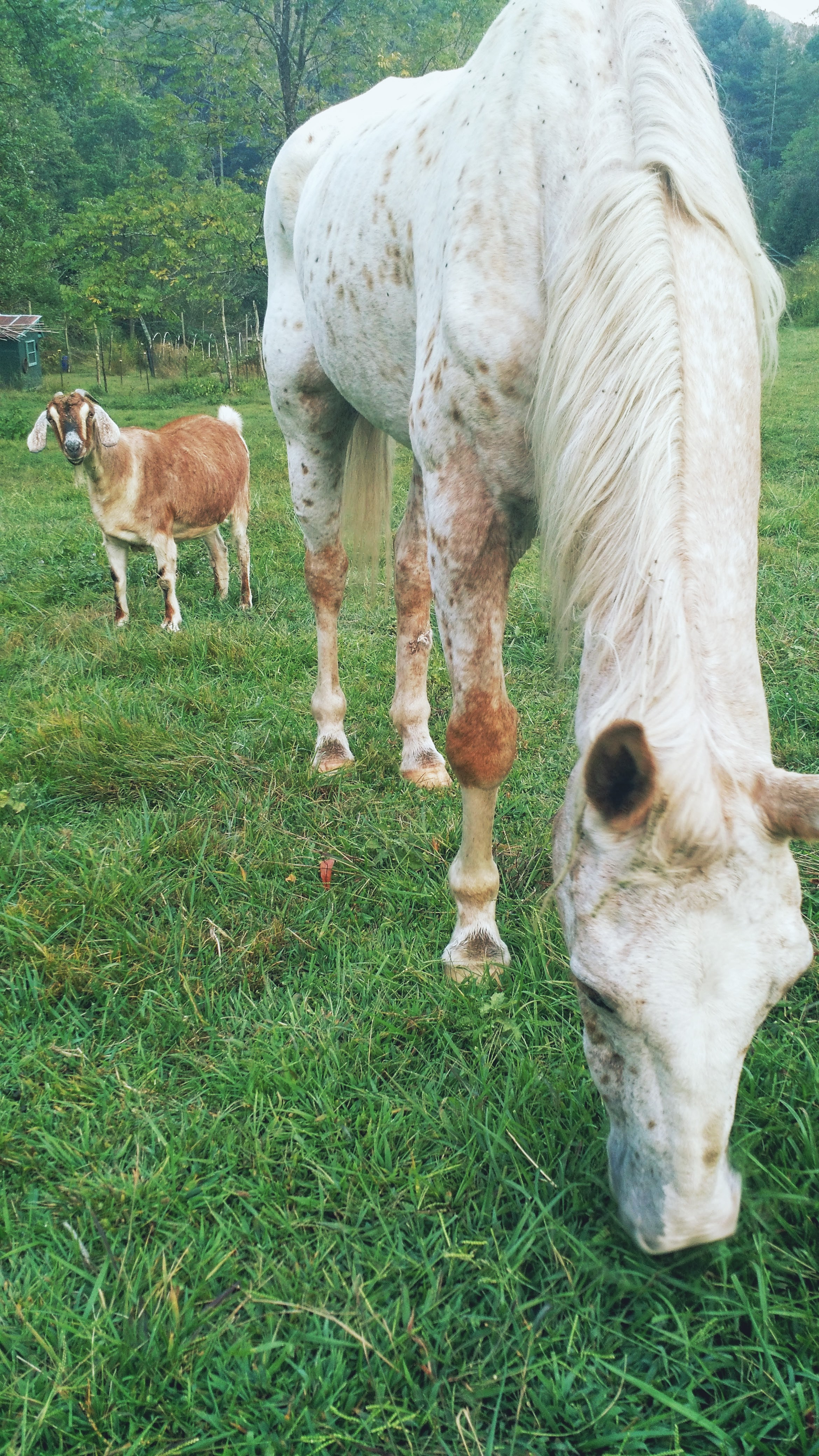 The starving horse and his goat friend.