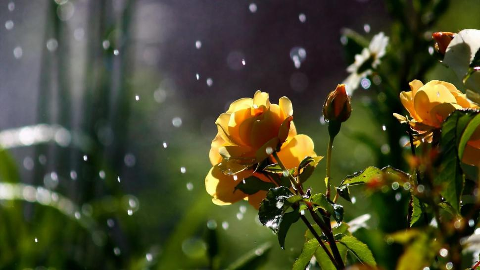 nature-flowers-petals-plants-garden-rain-drops-sparkle-weather-storm-free-images-1080P-wallpaper-middle-size.jpg