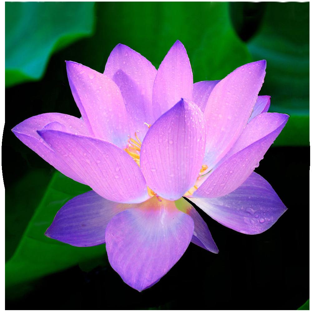 lotus-flower-nymphaea-caerulea-aquatic-plant-62681.png