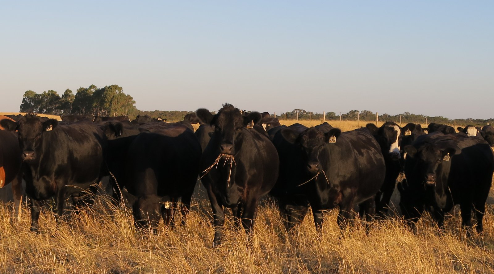 Spring Herd 2016 AI and Mated Heifers (25:1:18)