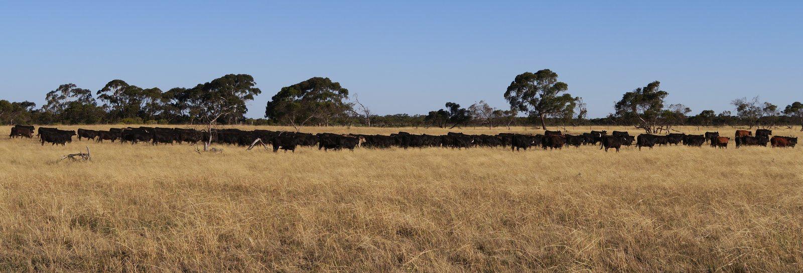 192 Spring Herd Heifers