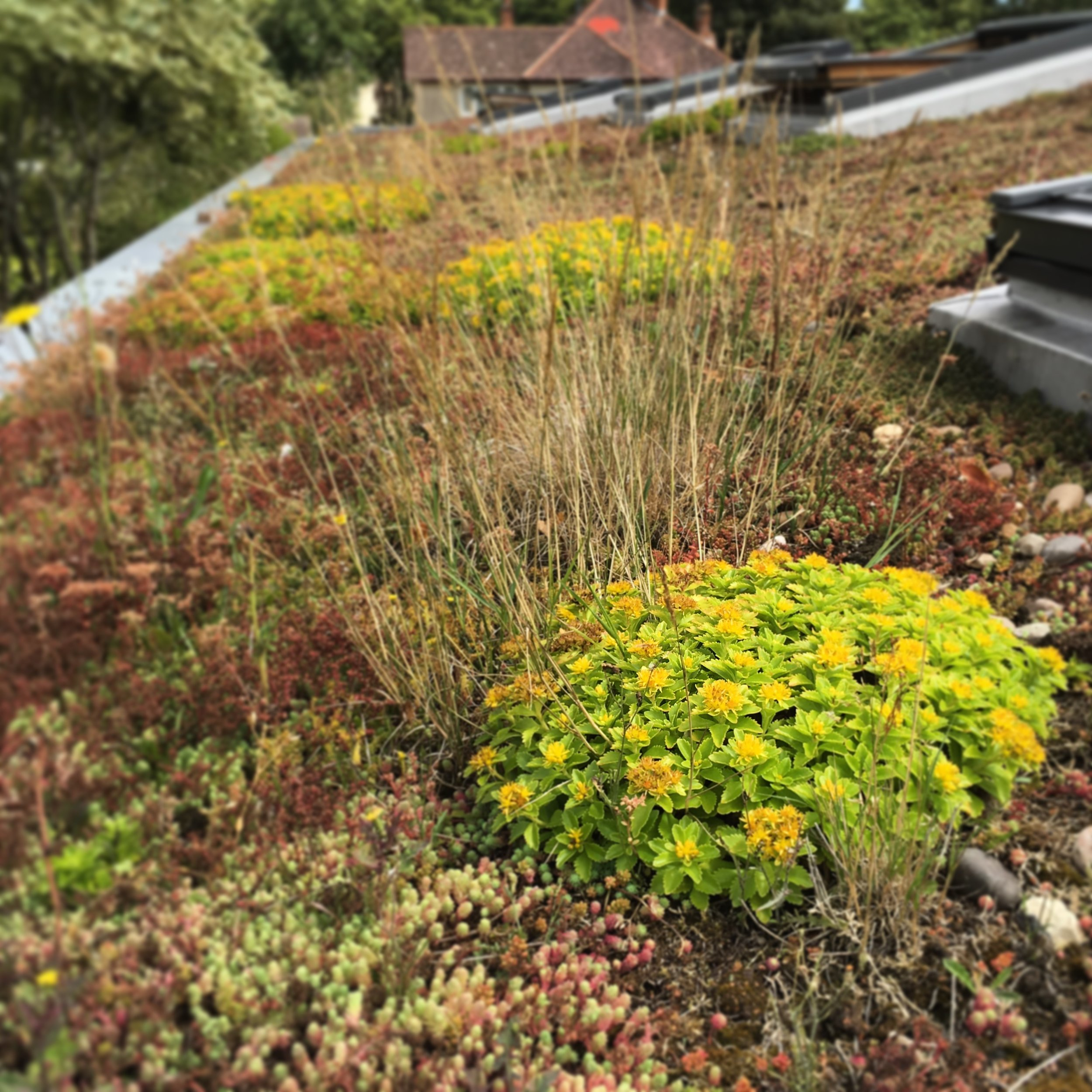 Sedums (drought tolerant succulents) and grasses provide a wildlife haven for insects, bees and invertebrates! Beats an old tiled roof any day!