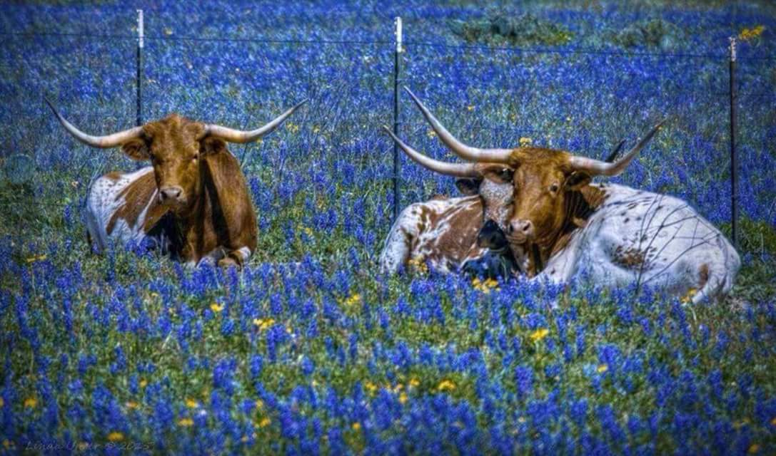 Longhorns love Spring