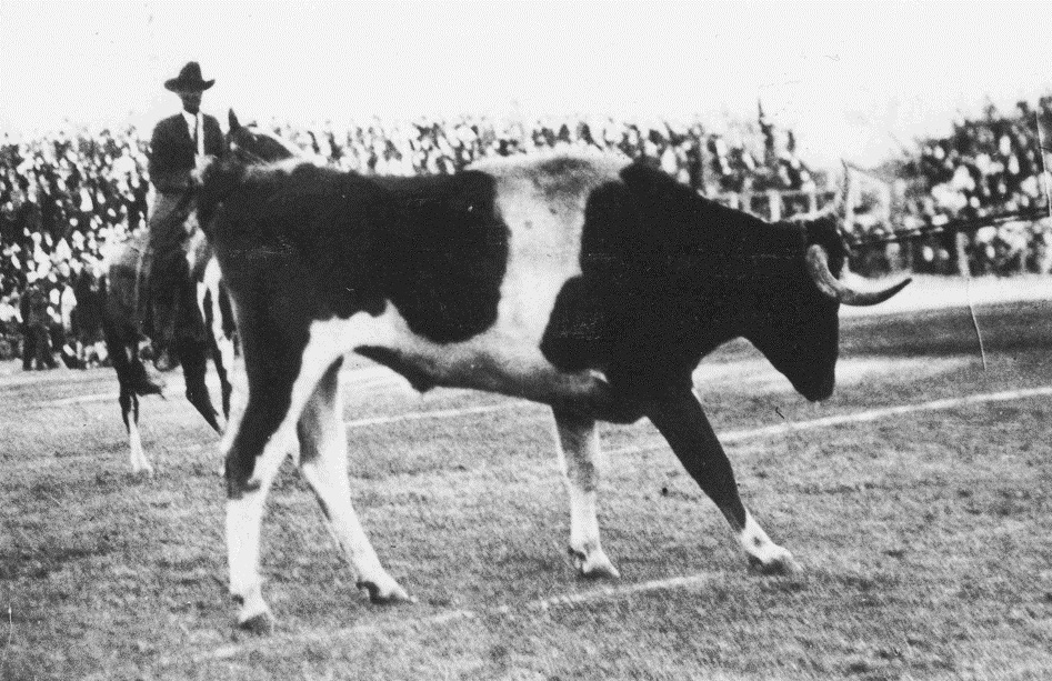 Bevo I at the Aggie game 1916