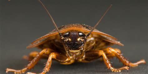 Cock Roach