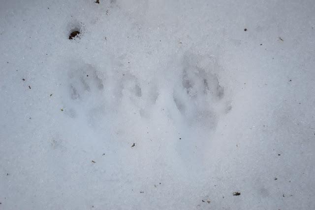 Squirrel+1+footprints.jpg