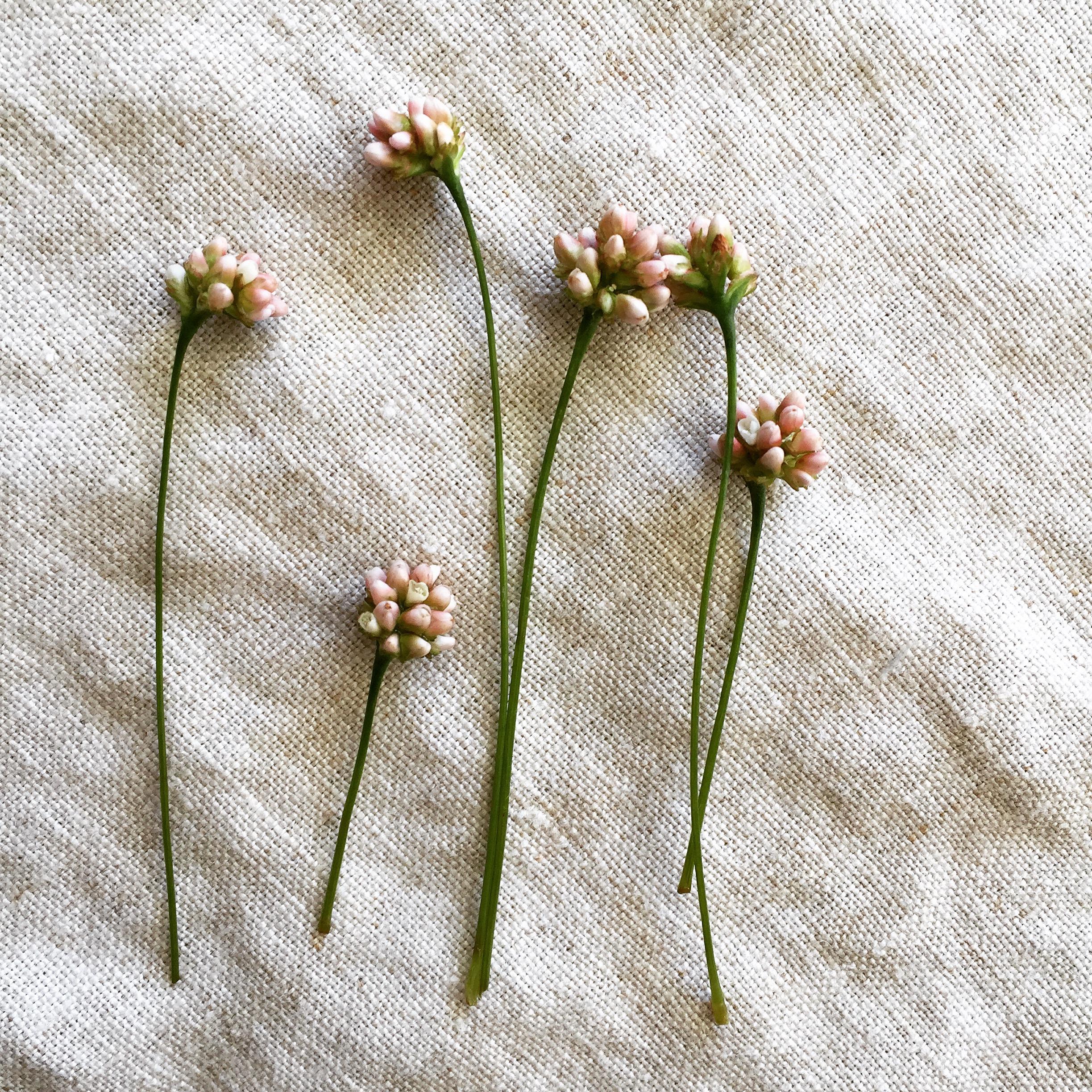 Pennsylvania Smartweed flowers