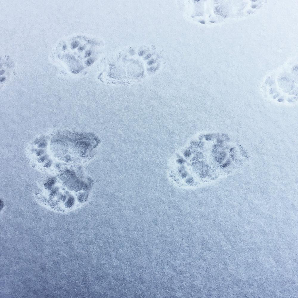black bear tracks   photo by Phoebe Stout