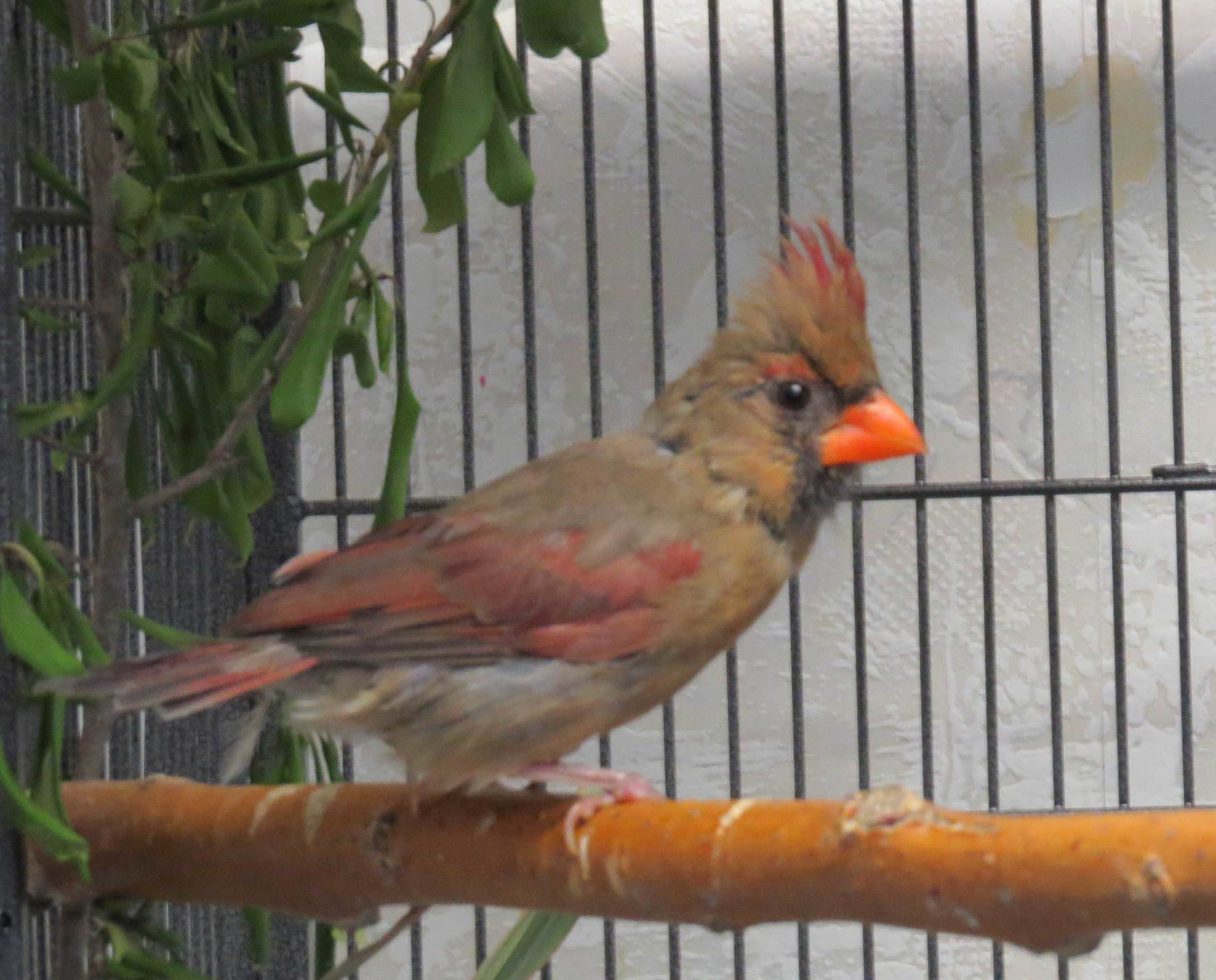 Adult Female Cardinal - Glue Trap Mishap!