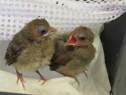Cardinal Nest Mates