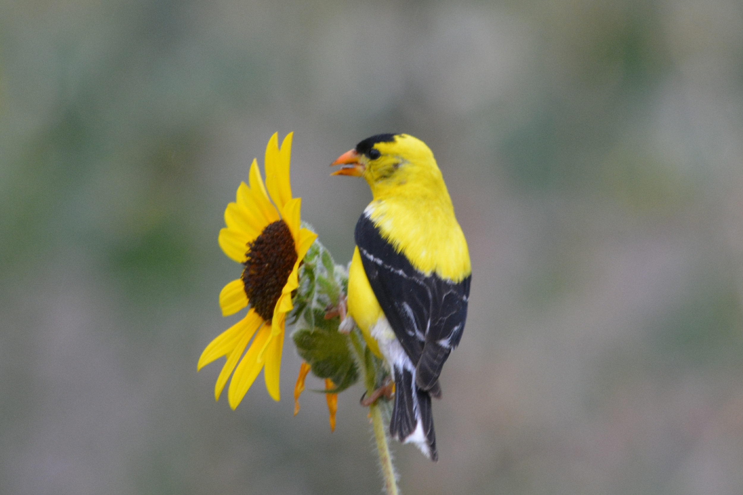 September, Goldfinch