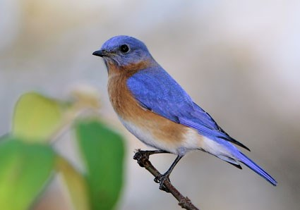 June, Eastern Bluebird