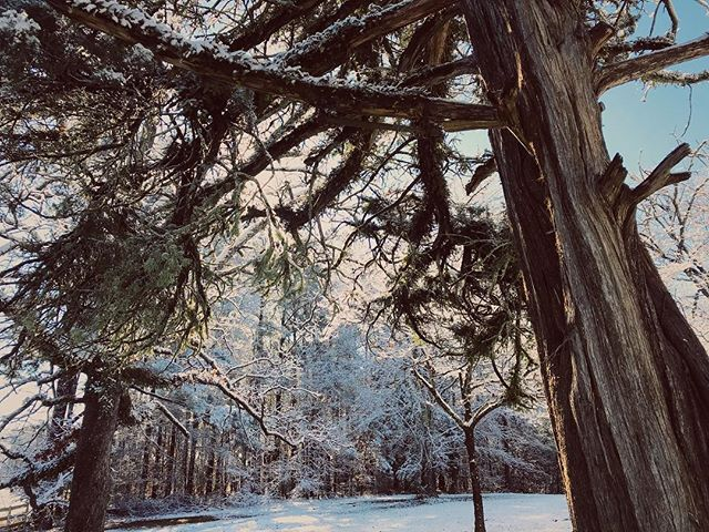 I wonder how many snow days this old cedar has seen ❄️