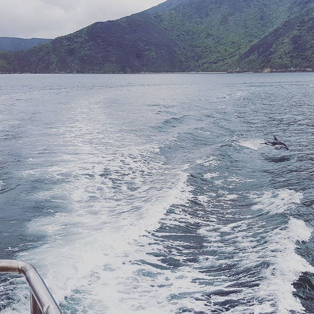 Went on the pelorus postal boat today and saw a few of these little slippery fishes jumping about. Also, I tried to put a filter on it because it was proper cloudy today but couldn't find the Barbados filter. Maybe next time. #dolphins #newzealand #ocean #boats #freewilly #freeweezy