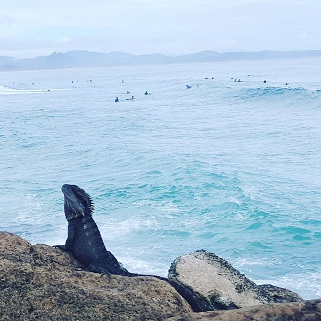 Last full day in byron bay/bangalow. Saw this little guy whilst waiting around in town to get the go ahead to do a skydive... #australia #lizard #byronbay #surfing