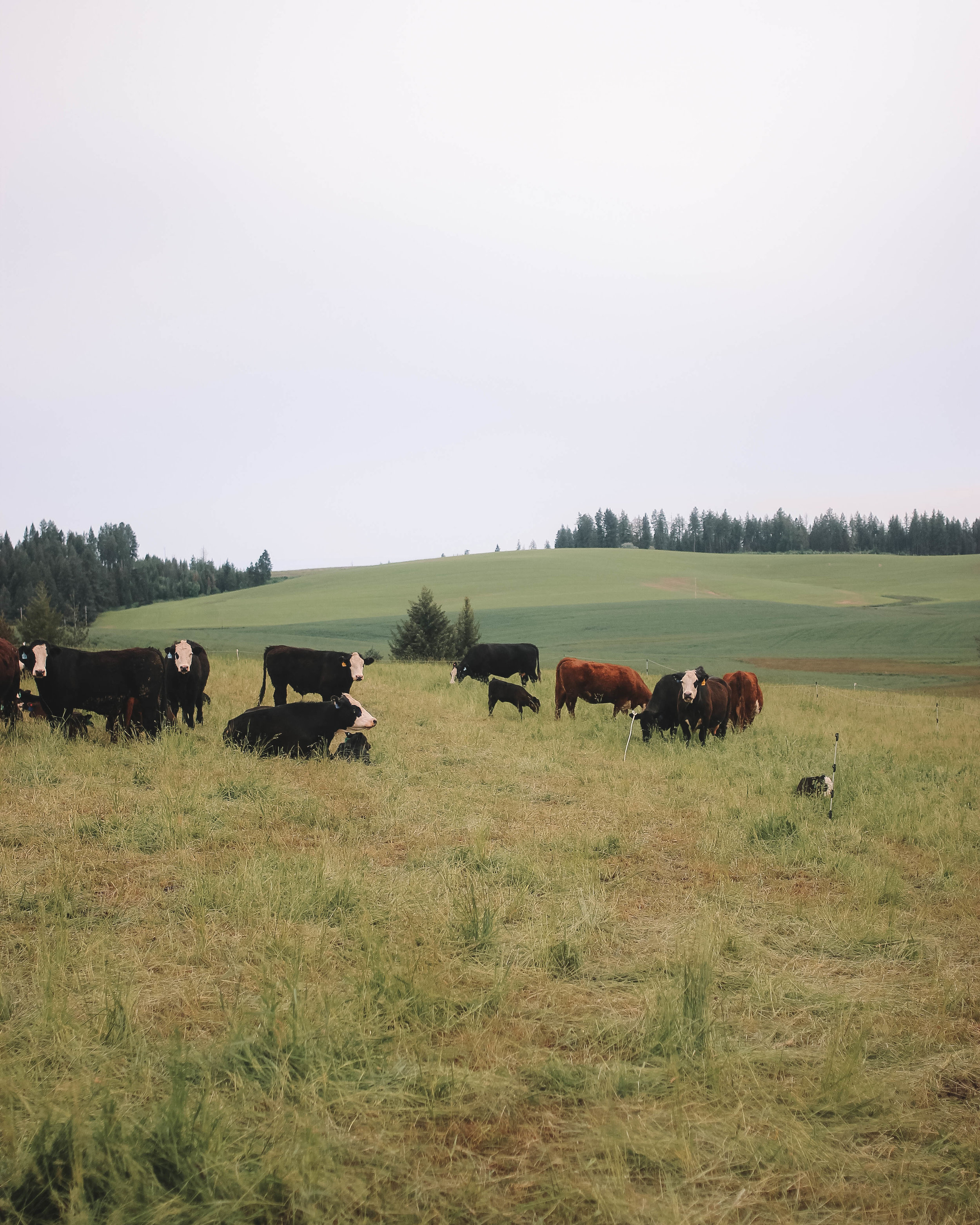 Several members of Palouse Prairie's herd lounge in their pasture. Palouse Prairie cattle are grazed outdoors on a rotation that ensures they always have access fresh and nutritious feed.
