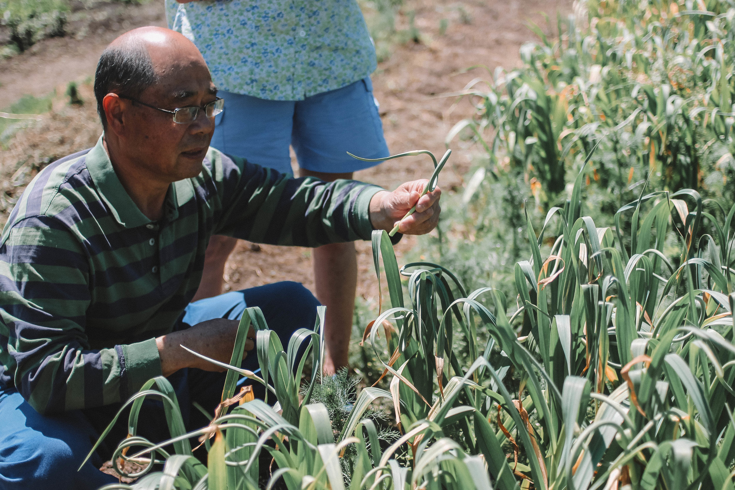 Da-Jin demonstrates how to find a perfect garlic scape