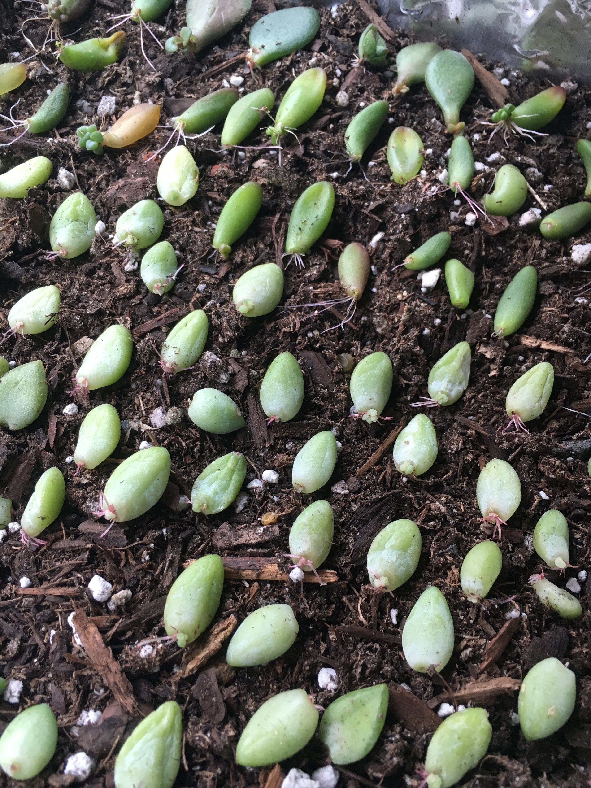 """Look at all my succulent babies! """"Adventures in Propagating"""" currently taking place on all my windowsills."""
